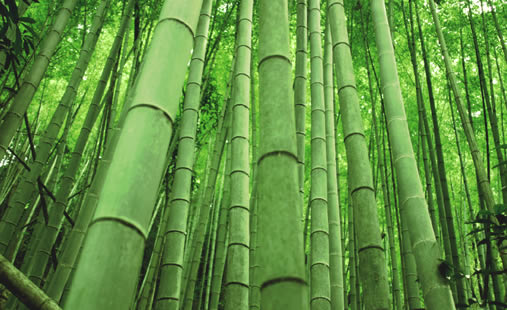 Как размножать бамбук