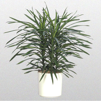 How to plant dracaena