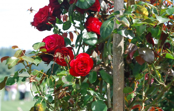 Varietal roses grow beautifully on the rose roots