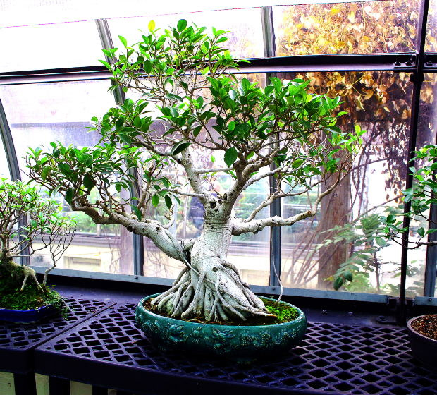 Bonsai, hand made, a true rarity and of great pride.
