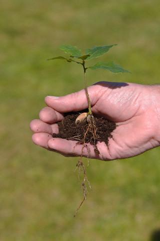 По весне под деревом можно найти уже проросшие желуди