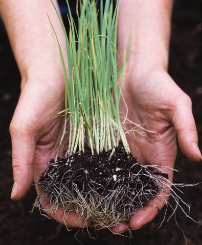 Перо, выращиваемое из семян получается очень тонким