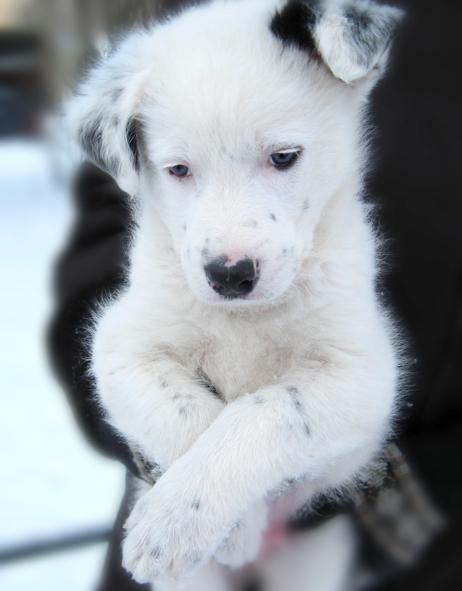 как поставить уши щенка
