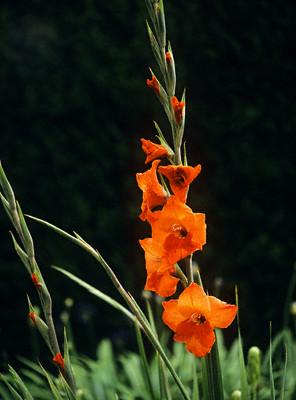 Гладиолусы - величественные цветы