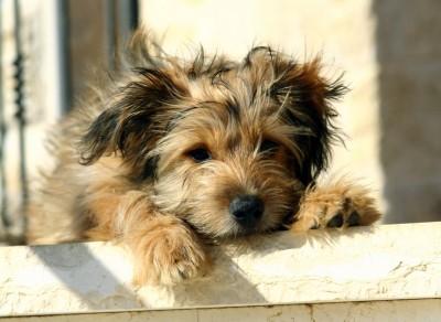 как делать собаке прививку
