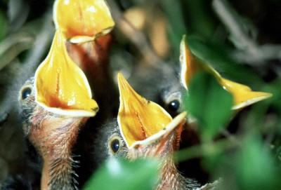 Предлагайте свою помощь птенцам, только если они в ней действительно нуждаются