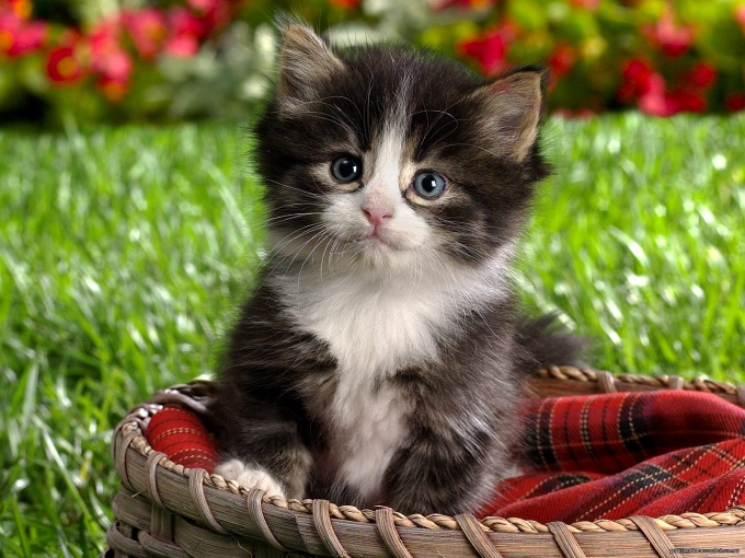 How you get rid of fleas in a kitten