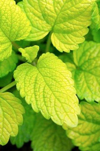 мелисса - лекарственное растение, эффективное при желчнокаменной болезни
