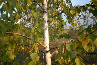 Березовые ветви - отличное сырье для банных веников