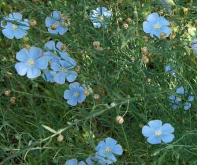 How to grow flax