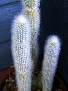 Cactus with one steblem