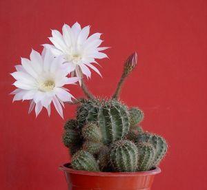 Cactus Detki