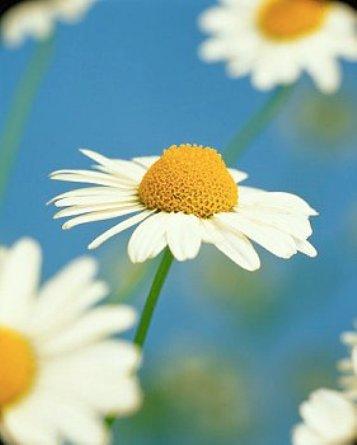цветки ромашки - эффективное противовоспалительное средство