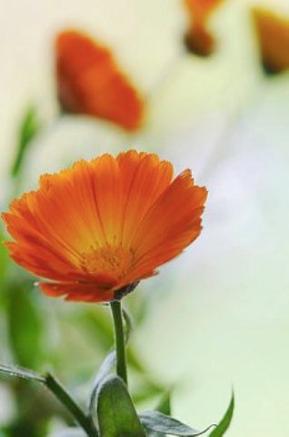 calendula officinalis is an effective remedy for cataract