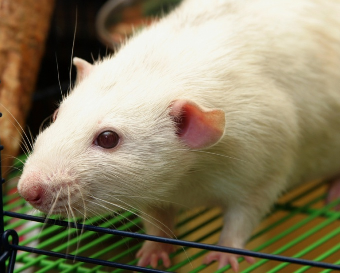 как приручить крысу
