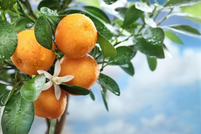 Выращивать мандарин из косточки интересно и приятно