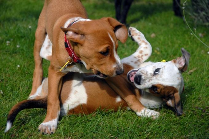 как познакомить бойцовскую собаку с другой