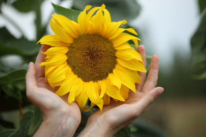Sunflowers are very beautiful and give a rich harvest