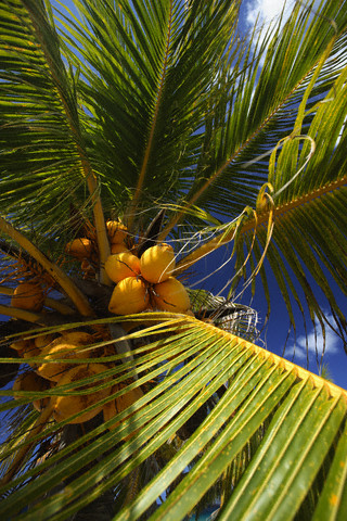 At home, the coconut will not bear fruit
