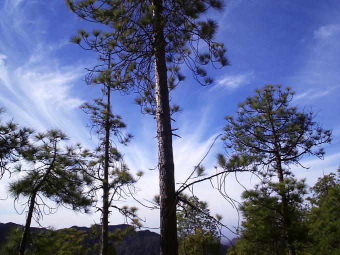 Смола, которую выделяют хвойные деревья. называют живицей
