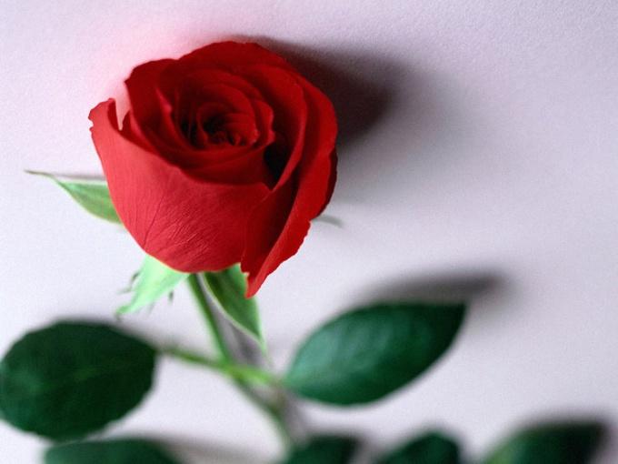 Как развести розу черенками