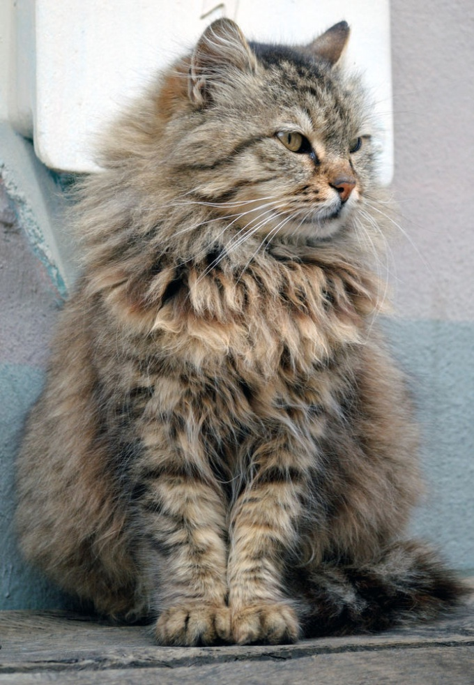 At the exhibition the breed of cat can be issued as a home, then the pedigree is not needed