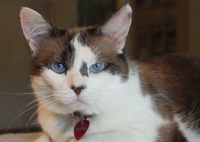 To restore a pedigree cat should be in the club and to be chipped