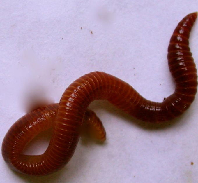 How to breed Californian worm