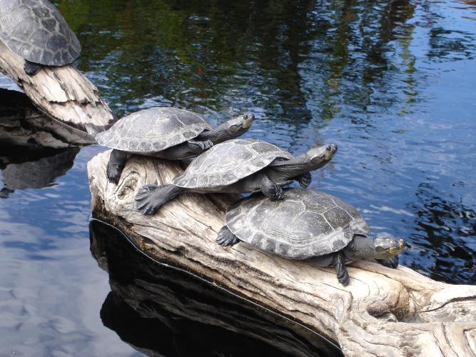 из чего сделать островок для красноухой черепахи