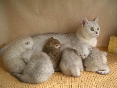 как случить кошку с котом