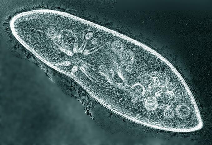 Инфузорию можно увидеть под микроскопом