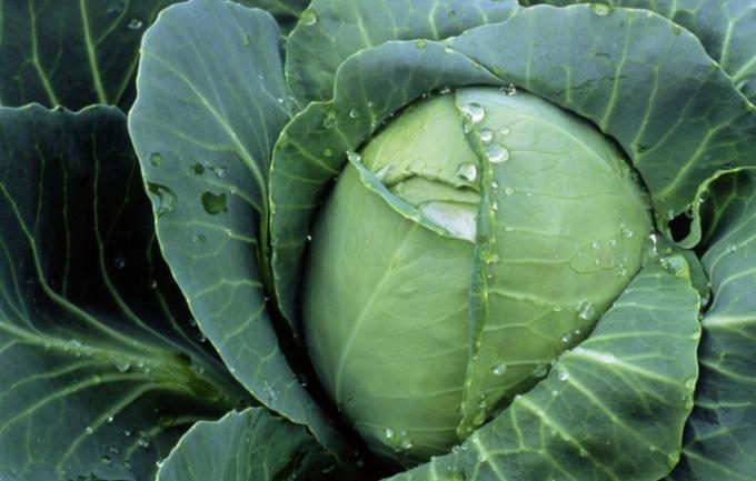 Как сохранить капусту