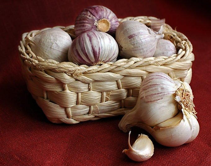 Store the garlic in the winter to properly.