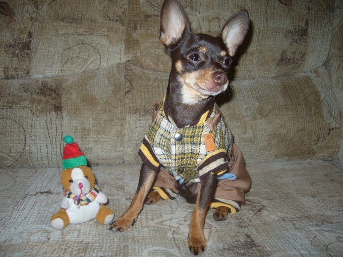 How to sew clothes for toy Terrier