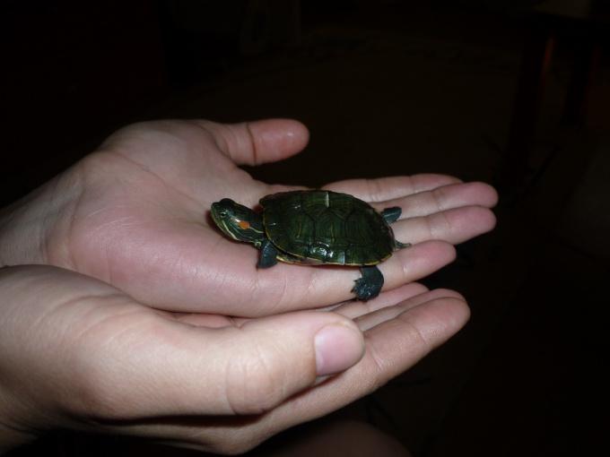 Как разводить черепах