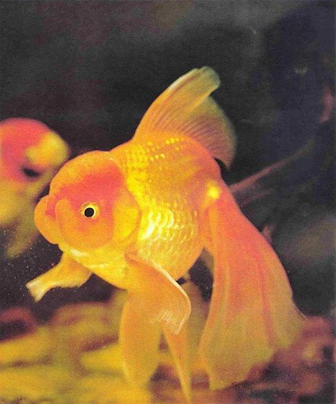 расцветка золотых рыбок в картинках