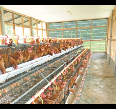 How to breed laying hens