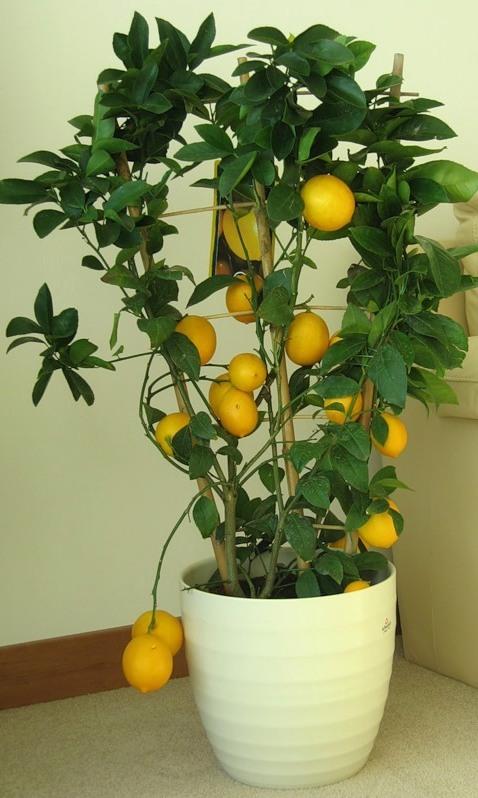 Как вырастить лимон из семечка