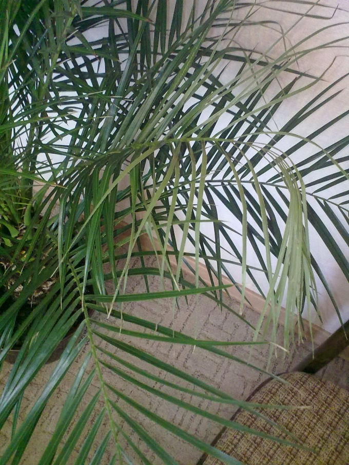 Как спасти пальму