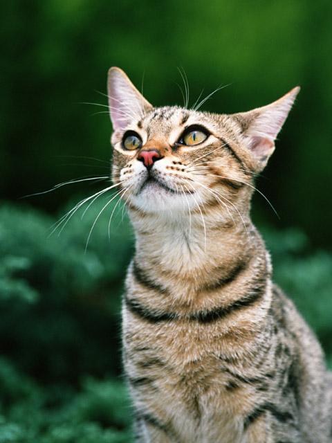 как вытаскивать клеща у кошки