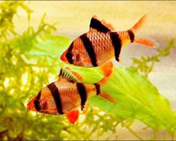 Пара барбусов в аквариуме