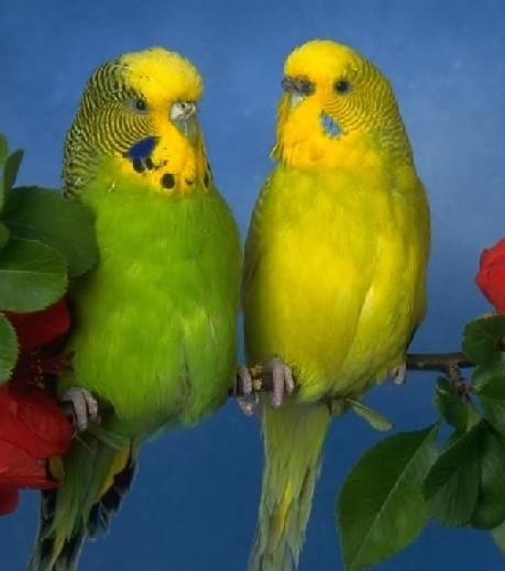 как разлечить пол у волнистых попугаев