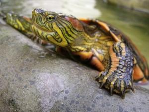 Как вылечить <strong>черепаху</strong>