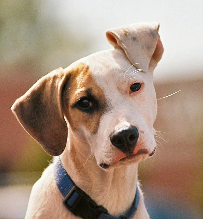 можно ли вылечить слепоту у собаки