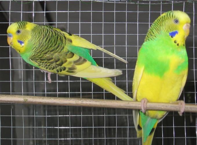 попугай голубова цвета мальчик или девочка