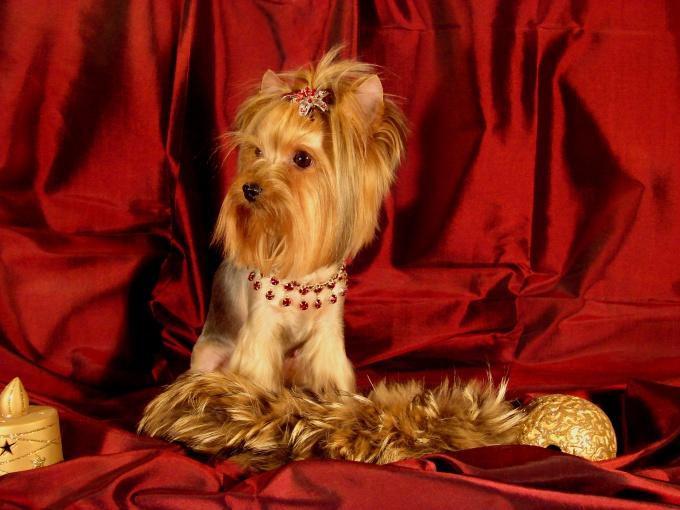 как распознать щенка йоркширского терьера