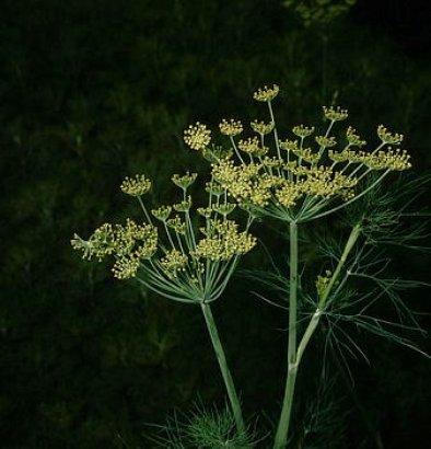 Семена укропа - эффективное средство для борьбы с описторхозом