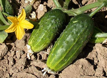 How to grow cucumbers in the open ground