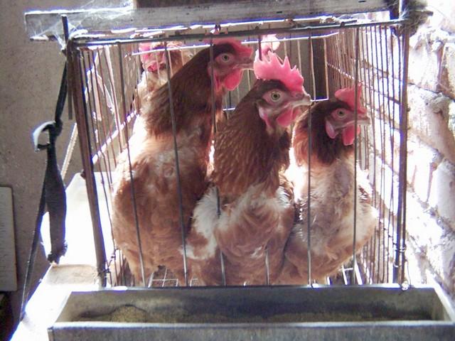 как приучить курицу в майнкрафт