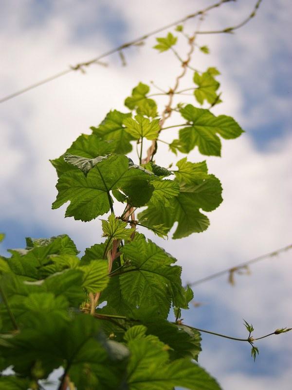 Как выращивать хмель